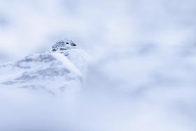 ptarmigan-settled-in-snow-mountain-scotland-cold-winter-canon-uk