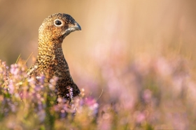 red-grouse-heather-scotland-canon-uk-colours