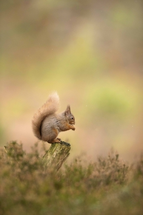 red-squirrel-pose-portrait-eating-background-colours-scotland-cairngorms-wild-caledonian-forest-canon
