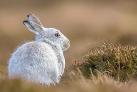 scotland-highlands-wild-mountain-hare-white-canon