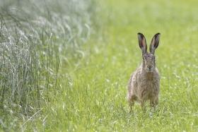 wild, spring, hare, brown hare, grass, portrait, canon, uk